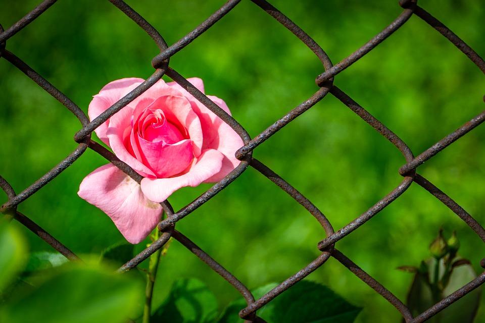 Цветок за решёткой